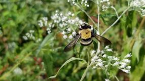 Bumble Bee Harvesting Pollen from White Flowers. Yellow and black striped bee, feeding on white flowers in a Georgia garden stock photo