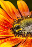 Bumble bee Harvesting a Sunflower Stock Image