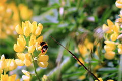 Bumble Bee harvesting yellow lupin flowers Stock Images