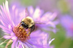 Bumble Bee Harvests in Autumn Stock Image