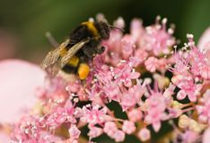 Bumble bee on hortensia flowers Stock Photos