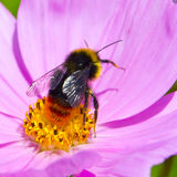 Bumble Bee Images Royalty Free Stock Image