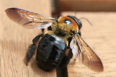 Bumble Bee. Imminent flight - rustic background Royalty Free Stock Photos
