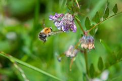 Free Bumble Bee In Flight Collecting Lollen Stock Photos - 157050313