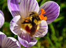 BUMBLE BEE. INSECT COLLECTING POLLEN ON A CROCUS Stock Photos