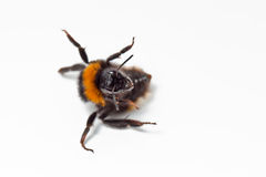 Bumble Bee Isolated. Crawling bumblebee isolated on the white background royalty free stock images