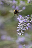 Bumble bee landing on lavendar with tongue out. A bumble bee prepares to land on a lavender plant, with its proboscis / tongue outstretched in anticipation of stock photo