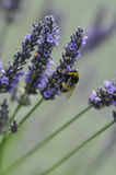Bumble Bee on Lavendar Stock Photography