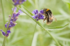 bumble-bee on lavender Stock Image