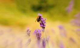 Bumble bee on lavender with blurred surround. stock photo