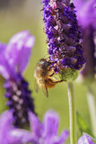 Bumble bee on lavender Royalty Free Stock Photography