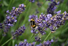Bumble bee on lavender bush. Close up of a bumble bee on a purple lavender flower bush royalty free stock photography