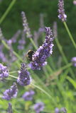 Bumble Bee & Lavender Royalty Free Stock Image