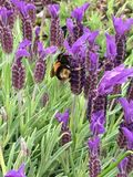 Bumble bee in lavender Royalty Free Stock Image