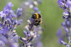 Bumble bee on the lavender flower closeup Royalty Free Stock Photos