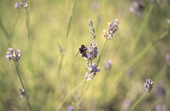 Bumble bee on lavender flower Stock Photos