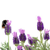 Bumble Bee and Lavender Flowers. Lavender herb flowers with a bumble bee gathering pollen, over white background royalty free stock photos