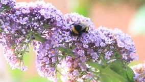 Bumble bee on lilac purple flower stock video