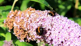 Bumble bee on lilac purple flower stock footage