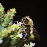 Bumble bee macro Stock Image