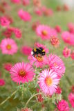 Bumble-bee. A meadow full of beautiful flowers and precious bumble-bees Royalty Free Stock Images