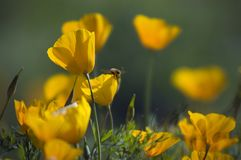 Bumble Bee and Mexican Golden Poppy. A bumble bee lands on a Mexican Golden Poppy during springtime in Arizona Stock Photography