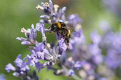 Bumble bee in motion on the lavender flower closeup Royalty Free Stock Photos
