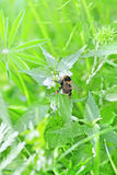 Bumble bee and nettle. Bumble bee on a nettle flowers stock photo