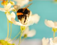 Free Bumble Bee On A Flower Royalty Free Stock Photography - 9327757