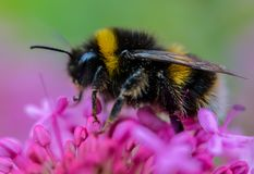 Bumble Bee On Ultra Violet Flower Royalty Free Stock Photos