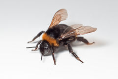 Bumble bee with open wings royalty free stock images