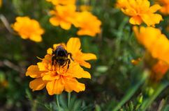Bumble bee on an orange flower. Bumble bee sucking polen on a yellow flower Stock Photos