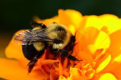 Bumblebee on an orange marigold flower Stock Images