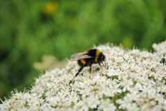 Bumble bee. A bee perches on some white town flowers in Pitlochry Stock Images