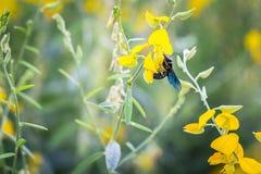 Bumble bee. Photo closeup of a bumble bee sucking nectar pollen Crotalaria golden blur the image Royalty Free Stock Photo