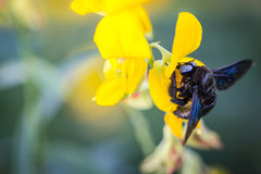 Bumble bee. Photo closeup of a bumble bee sucking nectar pollen Crotalaria golden blur the image Royalty Free Stock Photos