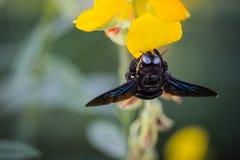 Bumble bee. Photo closeup of a bumble bee sucking nectar pollen Crotalaria golden blur the image Stock Image