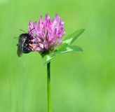 Bumble bee on pink clover. A bumble bee on pink clover collects nectar Stock Photo