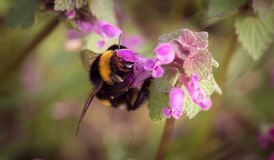 Bumble Bee on Pink Floower Stock Photo