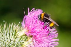 Bumble bee on pink flower Royalty Free Stock Images