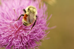 A bumble bee on pink. Flower Stock Photos