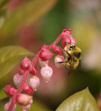 Bumble Bee on Pink Flower Stock Image