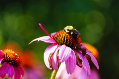 Bumble bee on a pink flower Stock Photos