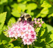 Bumble Bee on pink flower. Bumble Bee on a pink flowering bush Royalty Free Stock Images