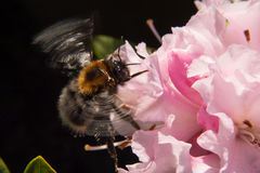 Bumble bee on a pink flower Royalty Free Stock Images