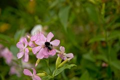 Bumble bee on a pink flowr - bombus Royalty Free Stock Photos