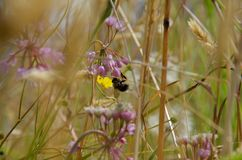 Bumble bee on pink nodding onion, Bunsby Islands, British Columbia. Gathers a meal royalty free stock photo