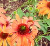 Bumble bee on pink and orange flower Stock Image