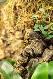 Bumble bee poison dart frog Dendrobates leucomelas Stock Images