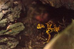 Bumble bee poison dart frog Dendrobates leucomelas. Is found in bromeliads in tropical South America Stock Photography